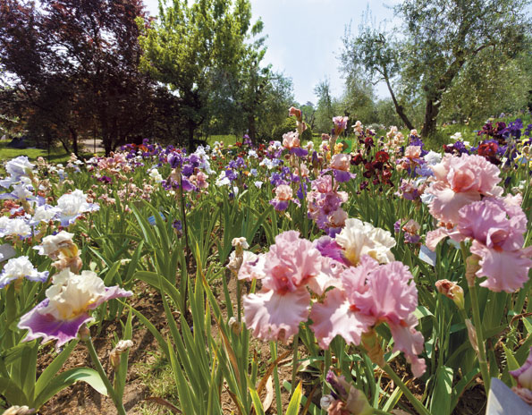 Frenze giardino Iris 2